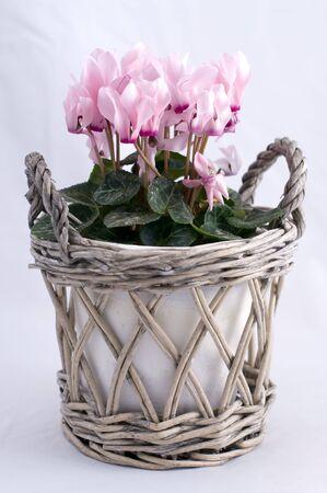 Cyclamen Rosa en una olla con material natural blanco tejida  Foto de archivo