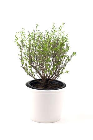 planta aromática de tomillo en su bote de cerámica blanca  Foto de archivo