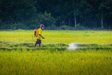 spraying: A farmer spraying insecticide in rice field.