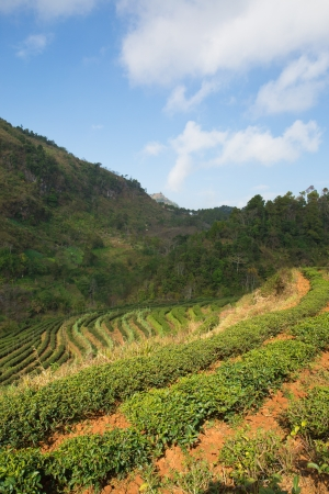 Tea plantation inthailand  Stock Photo