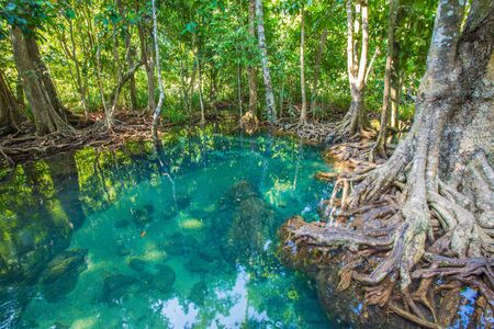 natural tree roots at Tapom two water canal in krabi, thailand Stock Photo - 19472833