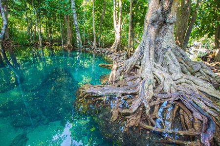 natural tree roots at Tapom two water canal in krabi, thailand photo