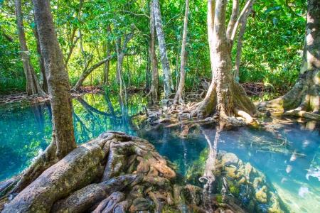 radici degli alberi naturali a due Tapom canale d'acqua a Krabi, Thailandia