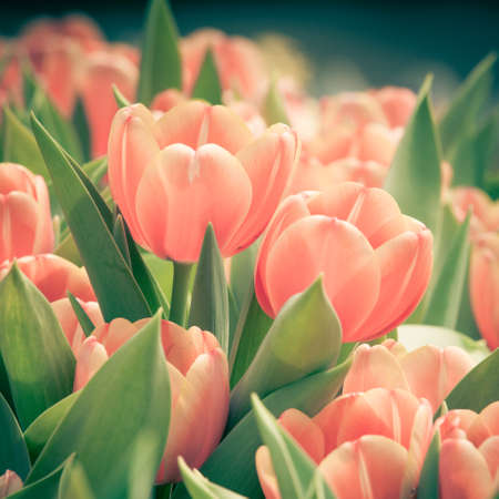 beautiful  Color Vintage tulips photo