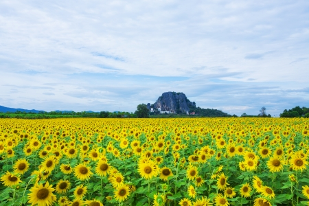 Sunflower fields in Lopburi Thailand. Stock Photo - 23875349