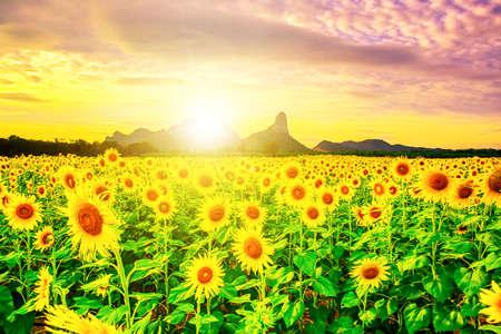 Sunflower fields in Lopburi Thailand.