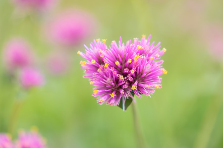 gomphrena globosa flowers beautiful pink