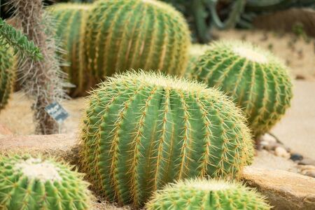 beautiful cactus thorn in nature