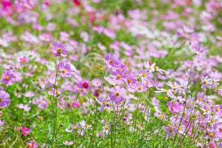 Cosmos flowers blooming in the garden. Winter season.
