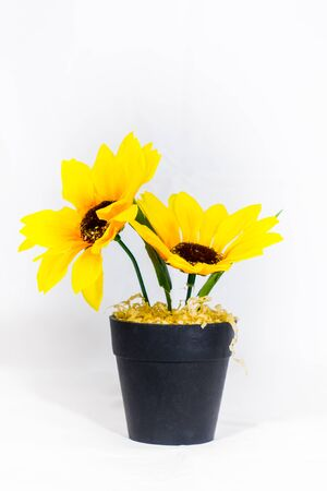 Sunflower in a pot on a white background