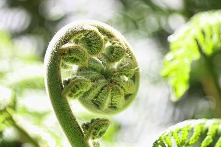 fern: A New Zealand Fern in spring