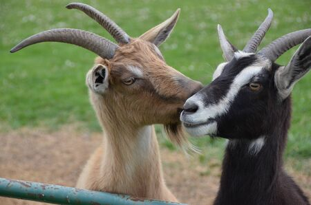 Goats loving on eachother