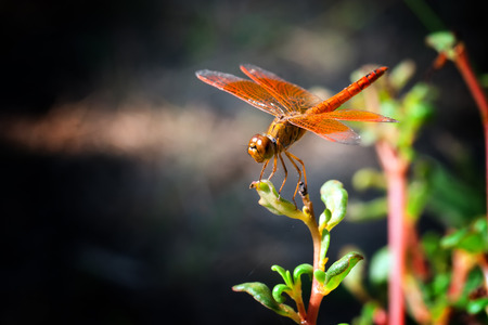 Orange dragonfly on plant  photo