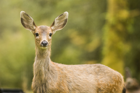 Mule Deer looking at the camera in a light drizzle,
