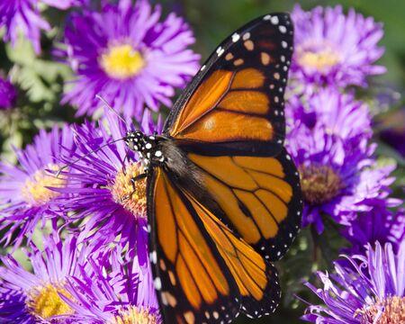 Monarchvlinder op massa van Purple Aster-bloemen, open uitgespreide vleugels
