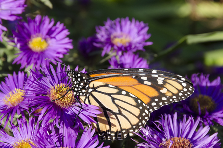 Monarch Butterfly on clump of Purple Aster flowers, Wings Vetical in Profile
