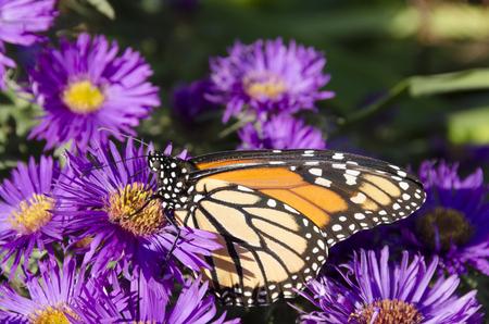Monarchvlinder op klomp van Purple Aster-bloemen, Wings Vetical in Profile