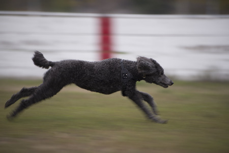 Standard Poodle Dog running full speed with motion blur Stock Photo