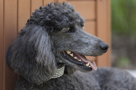 Standard Poodle Dog in bedazzled collar reclining