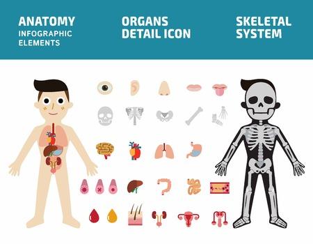 臓器のシステム。人体解剖体インフォ グラフィック。骨格系。内臓の詳細アイコンを設定します。フラット ベクトル イラスト グラフィック バナー