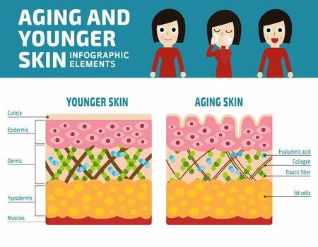 Più giovane la pelle e l'invecchiamento della pelle Infografica elements.Elastin e collagene vettore piatto illustration.Banner pelle più giovane e l'invecchiamento della pelle che mostra thedecrease di collagene ed elastina rotto in pelle più anziane Vettoriali