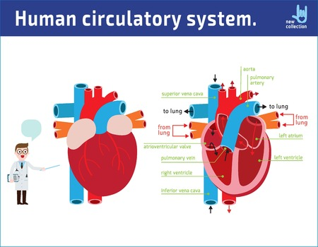Schematic of heart anatomy