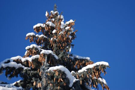 winter rime and snow covered tree tops on blue sky photo