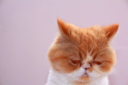 scolded: Persian cat sad because scolded Stock Photo
