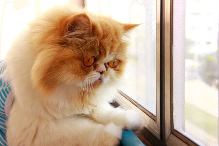 Persian cat  looking something photo