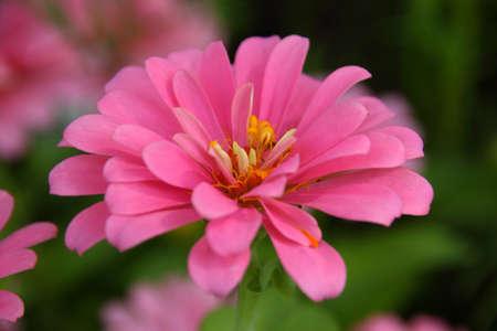 Beautiful blooming pink Zinnia photo