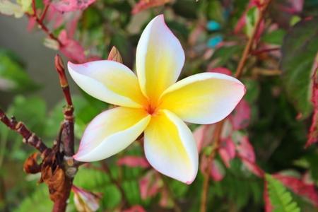 Frangipani blossom naturally beautiful in Thailand photo