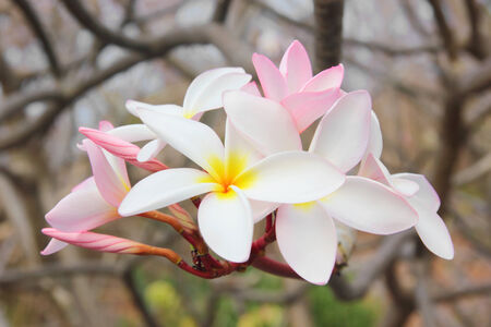 Frangipani blossom beautifully in nature photo