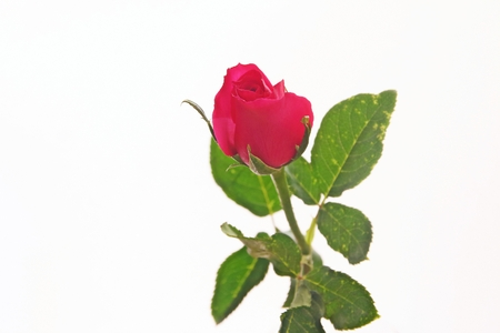 Red rose on a white background Stock Photo - 25753940