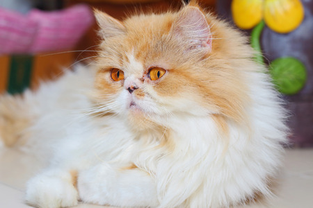 Persian cat lying on the floor photo