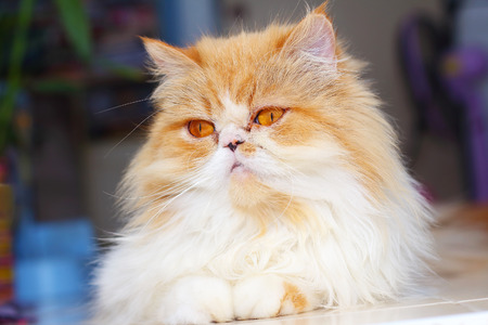 Cute Persian cat lying on the floor photo