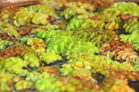 salvinia: salvinia on the water in Thailand