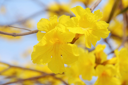 Beautiful yellow flowers blooming in the garden Thailand photo