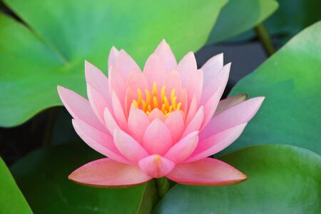 Pink lotus blooming in the lake
