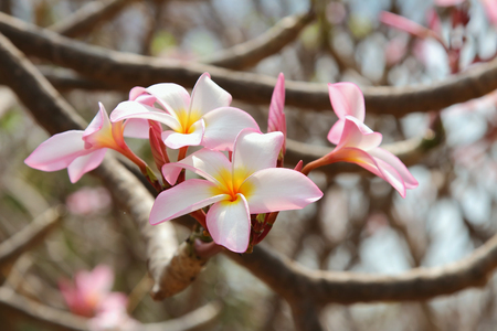 Beautiful Plumeria blooming in the garden at Thailand photo