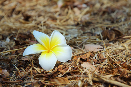 Plumeria falling on the floor photo
