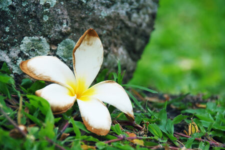 Plumeria falling on the grass photo