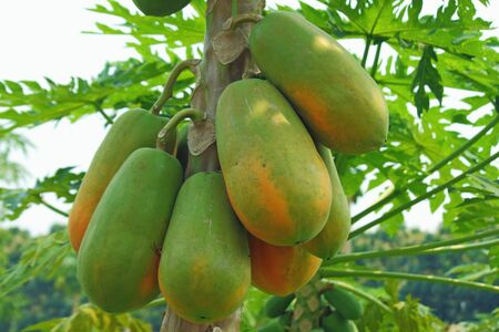 papaya tree: Papaya tree in the orchard of Thailand