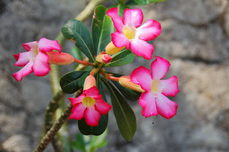 Beautiful Impala Lily is blooming in natural photo
