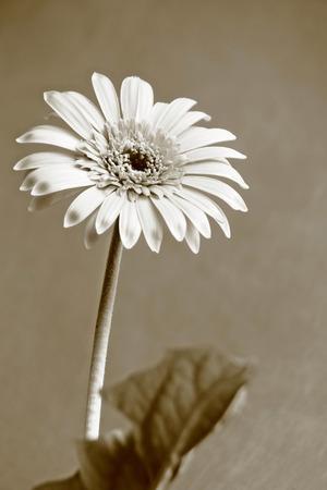 lament: Gerbera is Monochrome close up Stock Photo