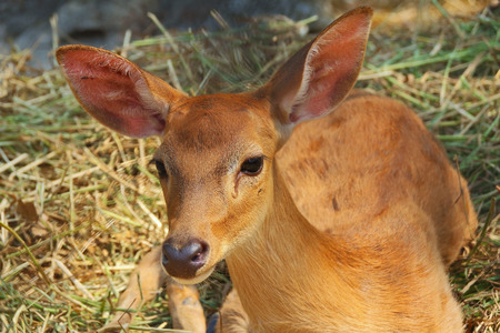 Elds deer close up in Thailand photo