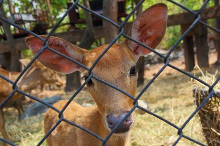 Elds deer close up in Thailand photo