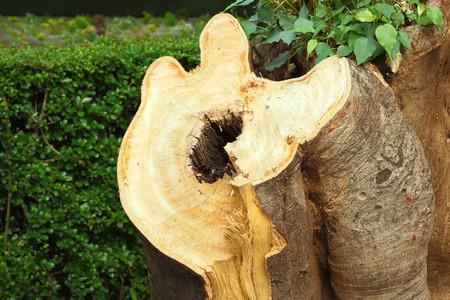 Big tree stump in the park photo