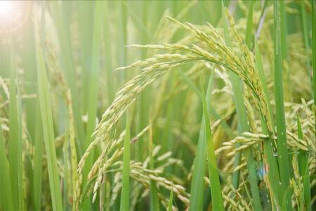 Rice fields in Thailand asia
