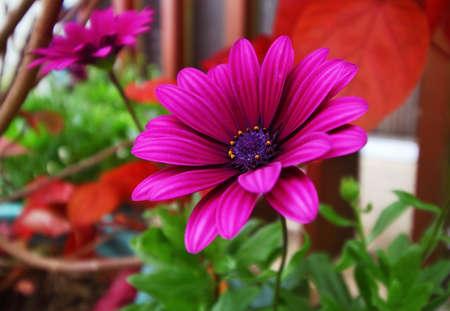 african daisy: Purple African Daisy flower, Osteospermum Stock Photo