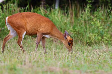 preservation: barking deer, wildlife preservation in Thailand